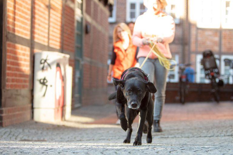 Suchhund im Training